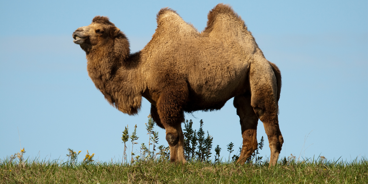 How $16 Camel Milk Ended Up in Whole Foods