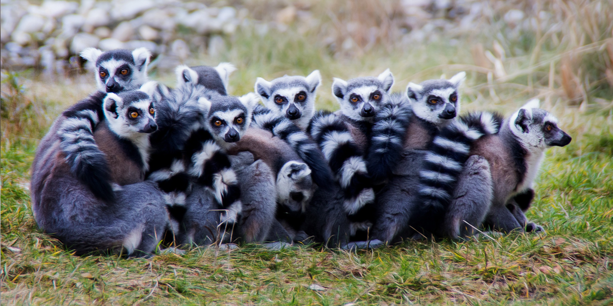 Lemurs Are Just Like Us, Only Have Time To Respond to Their Best Friends