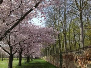 cherry-blossom-95662_1920